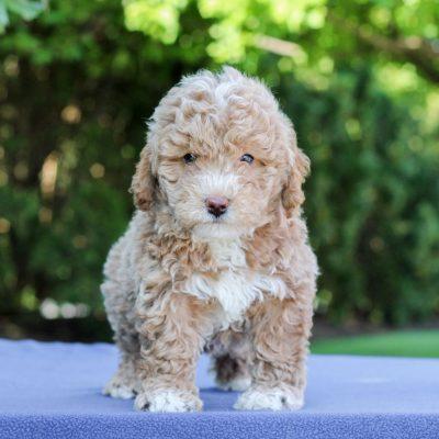 Heath - F1 Bichpoo puppy for sale near Gap, Pennsylvania