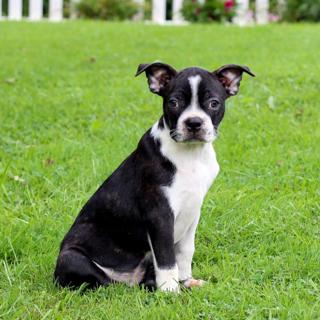 Hope - Boston Terrier pup for sale near Lebanon, Pennsylvania