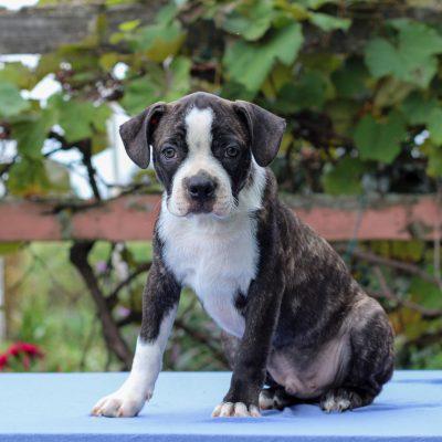 Hopscotch - Boston Terrier puppie for sale at Lebanon, Pennsylvania