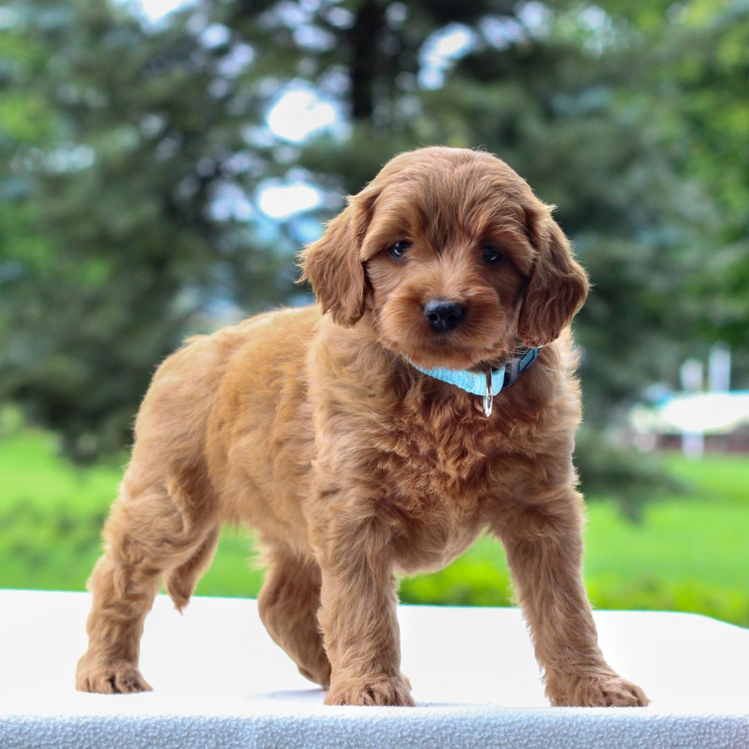 Ian - Mini Goldendoodle puppy for sale at Newmanstown, Pennsylvania