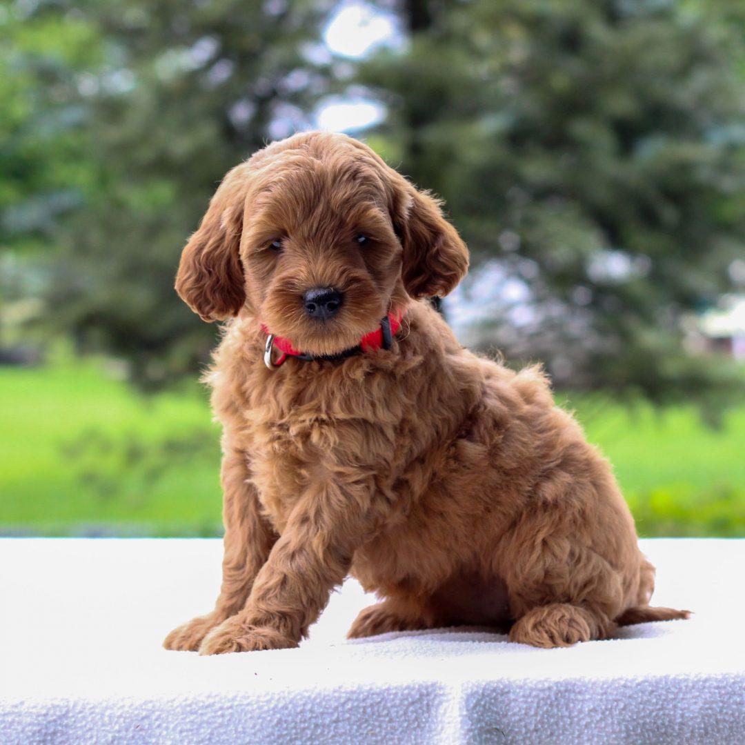 Iris - Mini Goldendoodle doggie for sale in Newmanstown, Pennsylvania