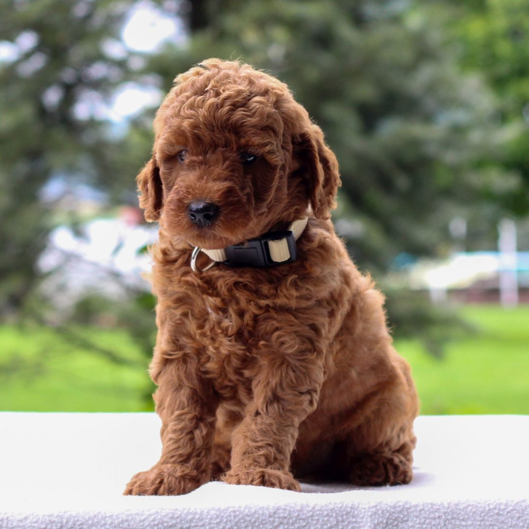 Isaiah - Mini Goldendoodle pupper for sale in Newmanstown, Pennsylvania