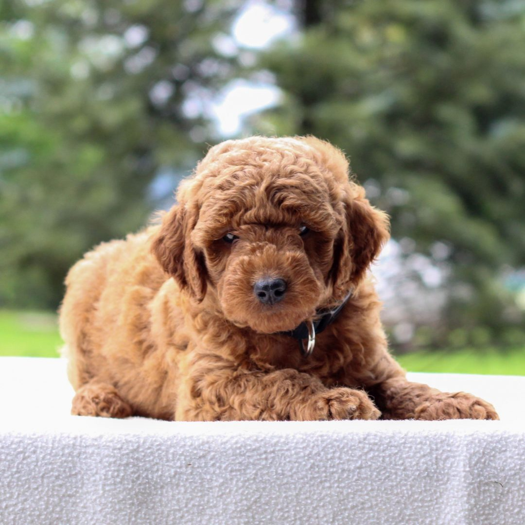 Israel - male Mini Goldendoodle puppie for sale at Newmanstown, Pennsylvania