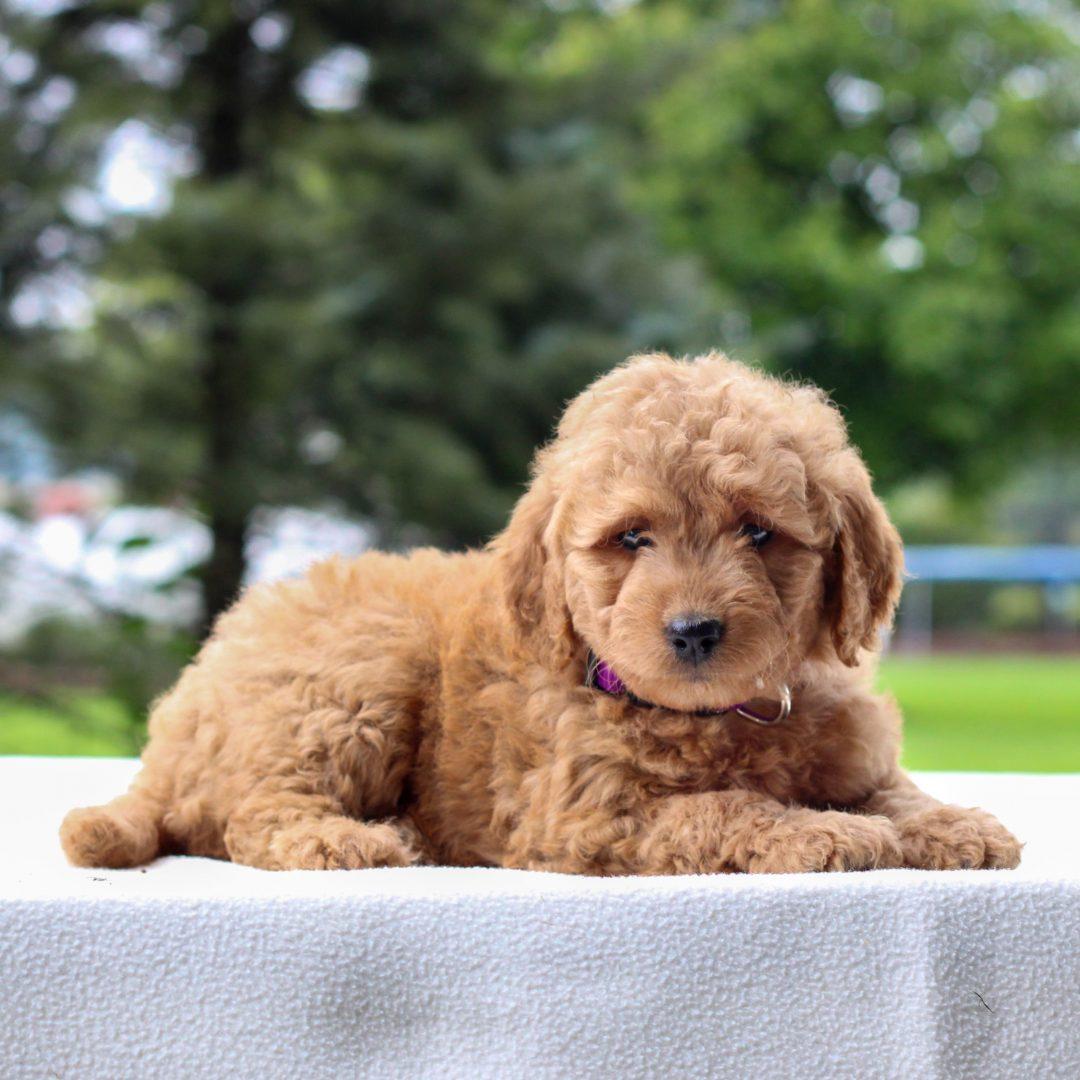 Issa - Mini Goldendoodle