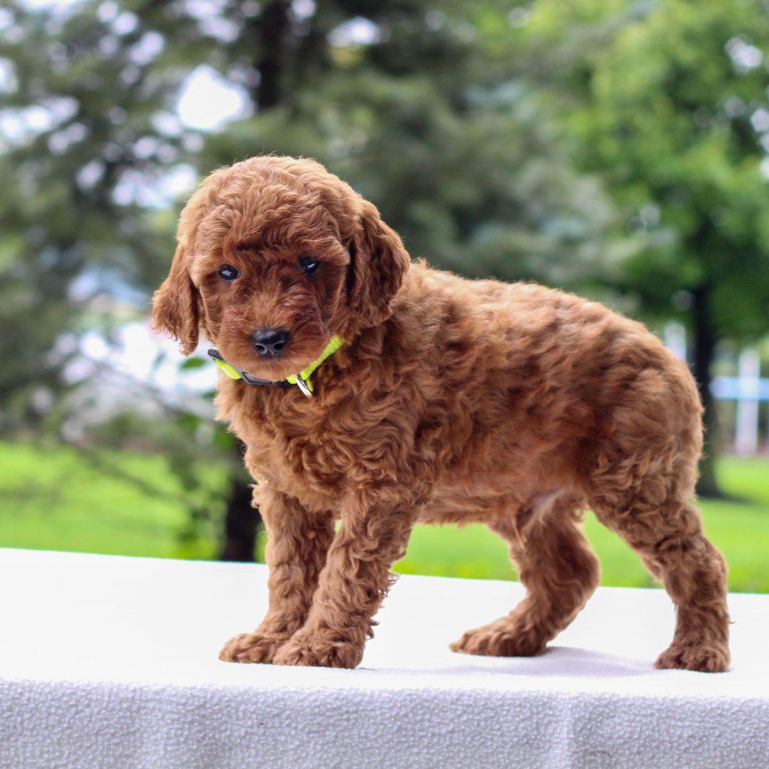 Ivan - Mini Goldendoodle