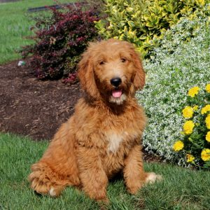 Jay - F1 Moyen Goldendoodle male doggie for sale near New Providence, Pennsylvania