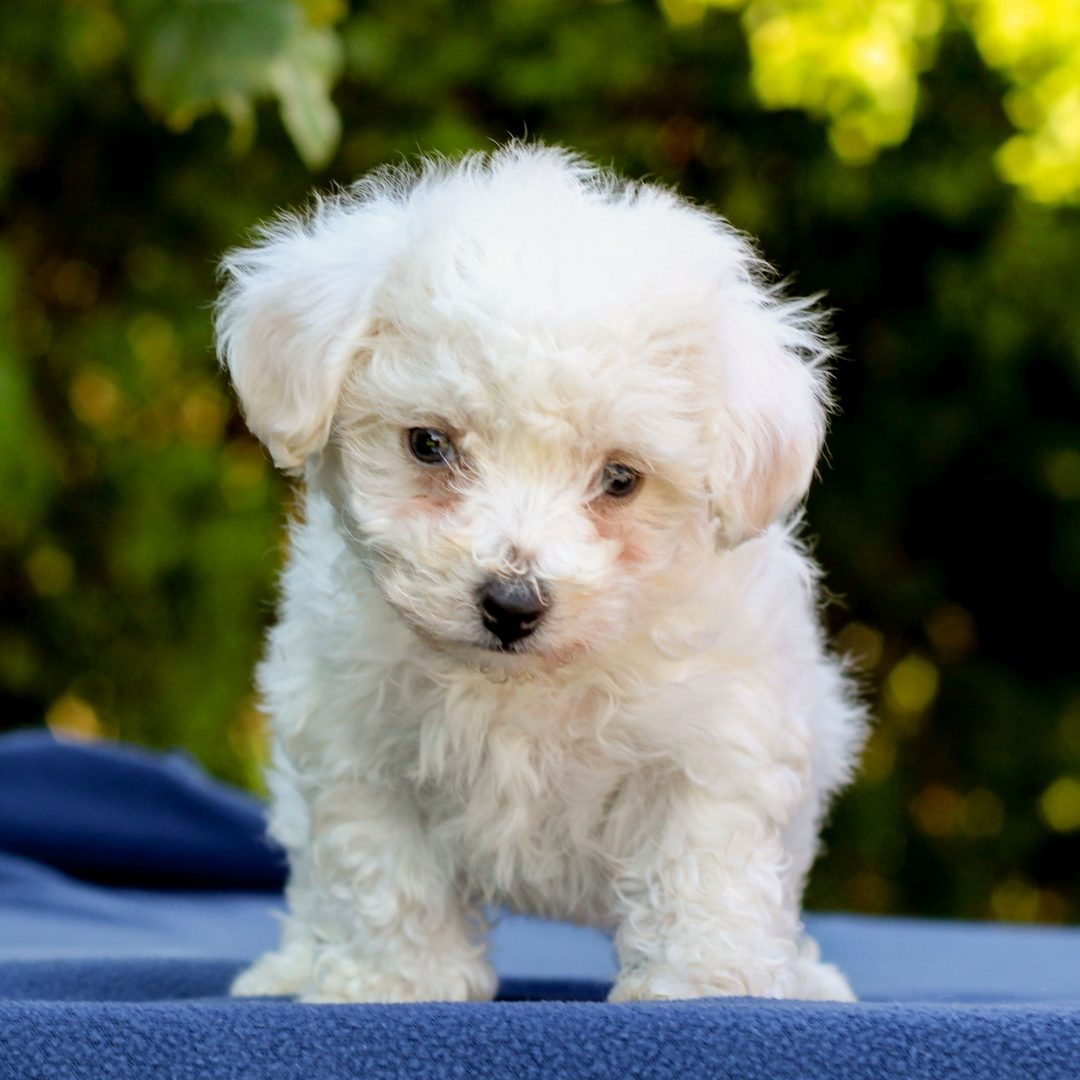 Jayna- Bichon Frise pup for sale in Gap, Pennsylvania