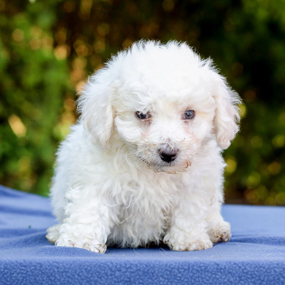 Jefferson - Bichon Frise puppie for sale near Gap, Pennsylvania