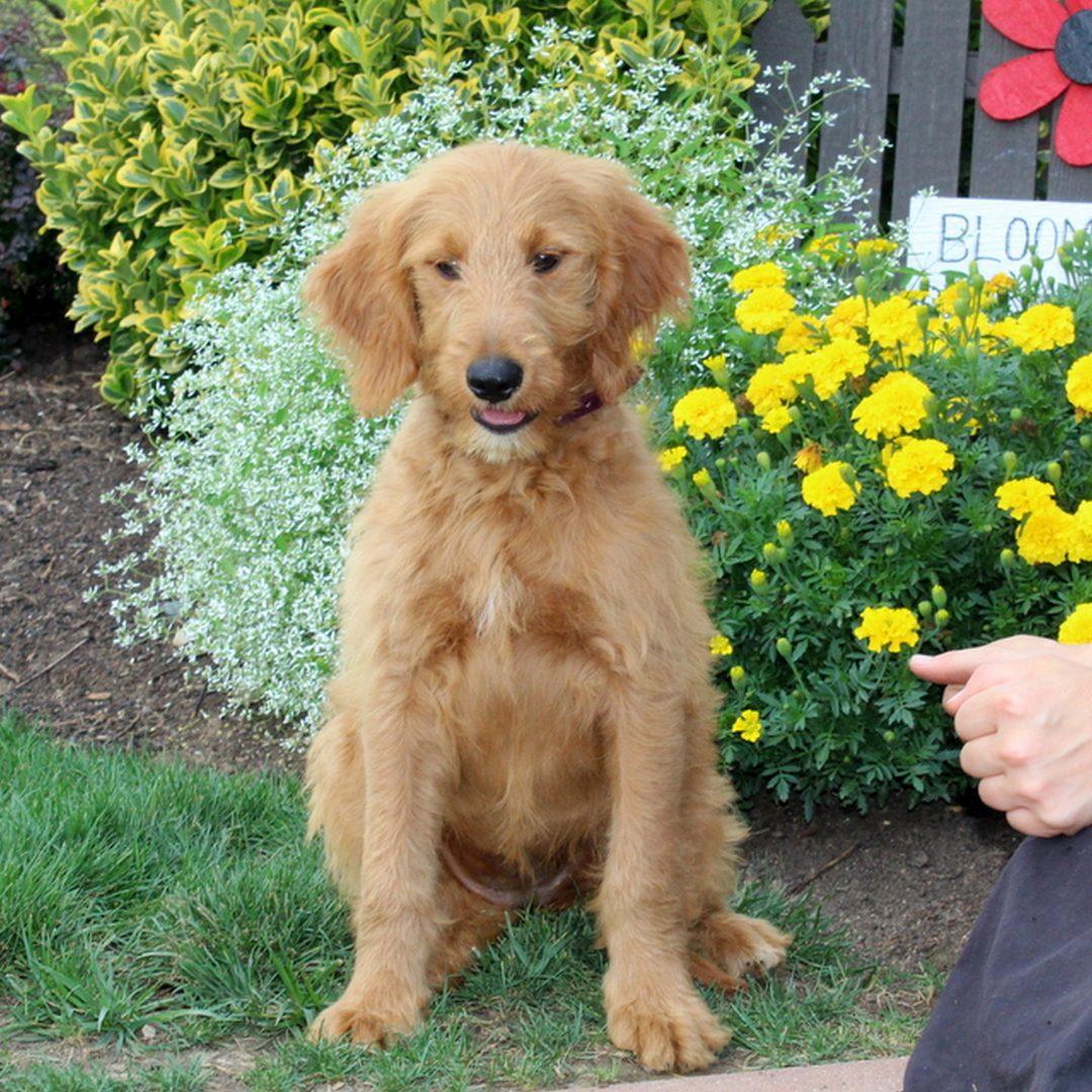 Jennifer - F1 Moyen Goldendoodle female doggie for sale near New Providence, Pennsylvania