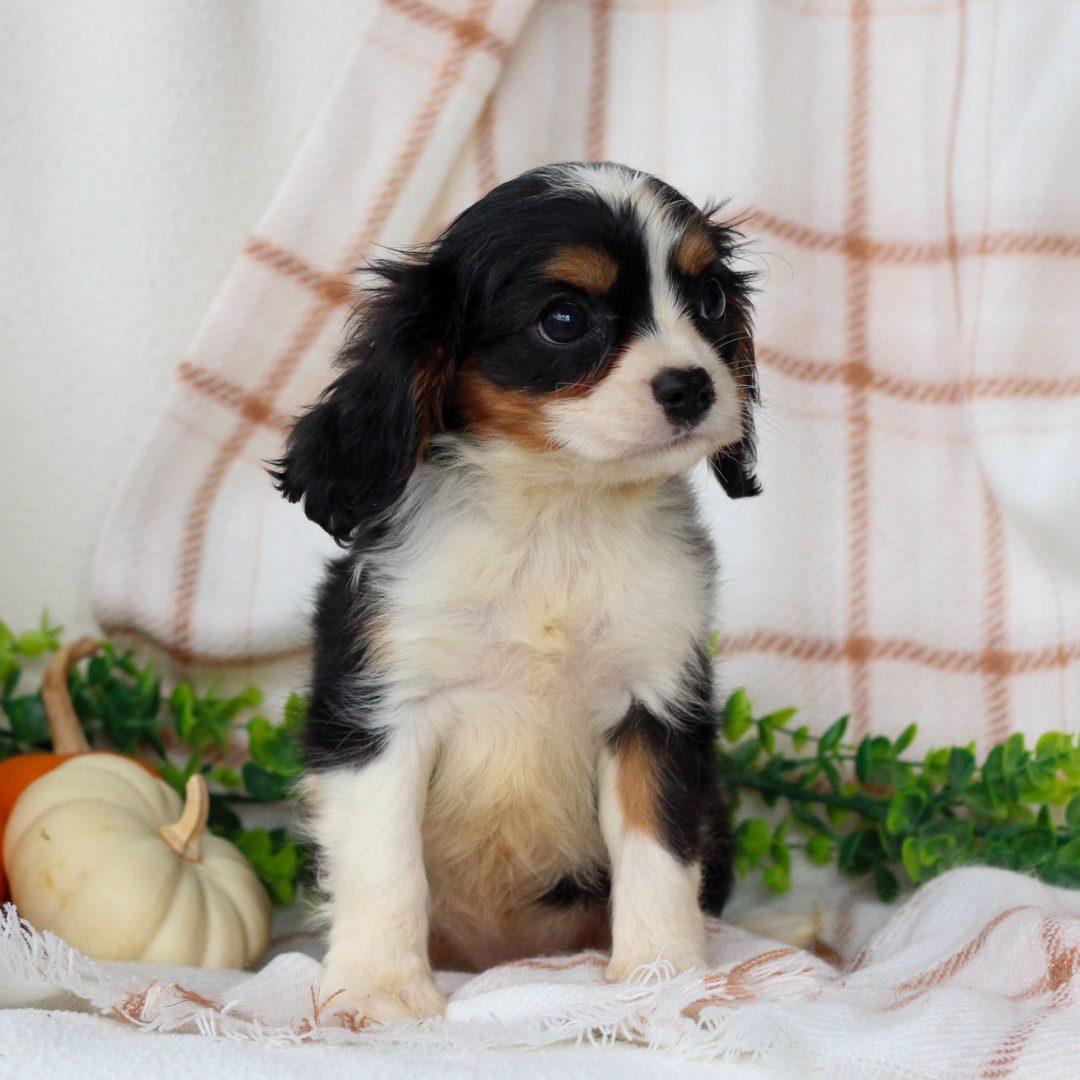 Jessica- ACA Cavalier King Charles Spaniel doggie for sale at Honey Brook, Pennsylvania