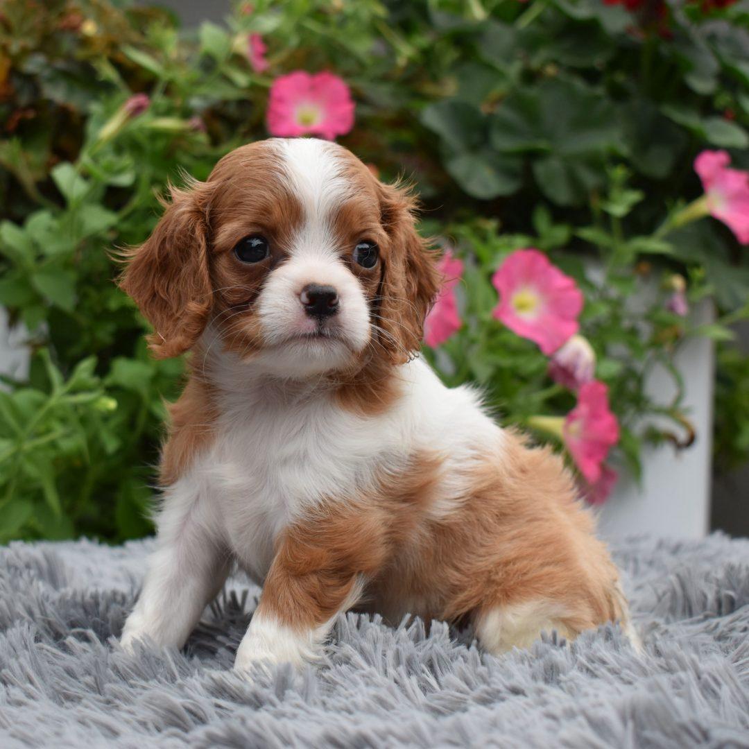 Jill - Cavapoo pup for sale in Sunbury, Pennsylvania