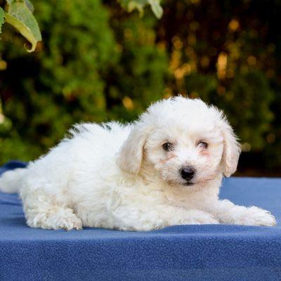 Johnny- Bichon Frise doggie for sale in Gap, Pennsylvania