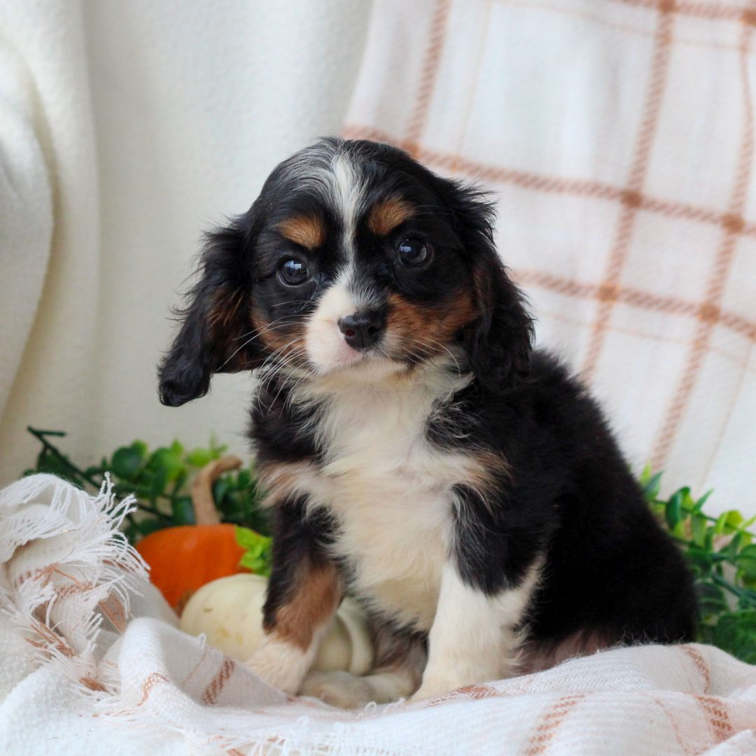 June - ACA Cavalier King Charles Spaniel puppy for sale near Honey Brook, Pennsylvania