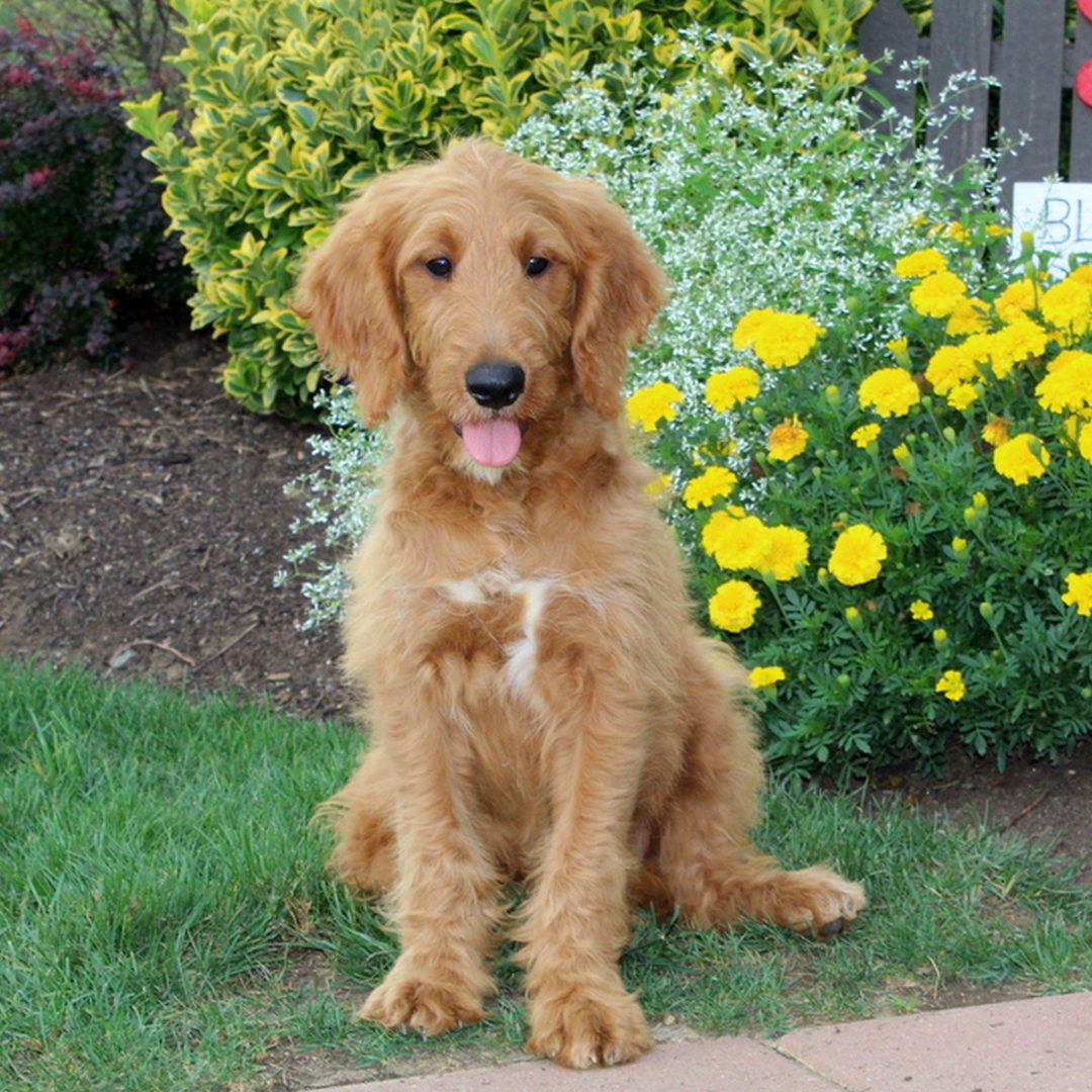 Justin - male F1 Moyen Goldendoodle puppie for sale at New Providence, Pennsylvania