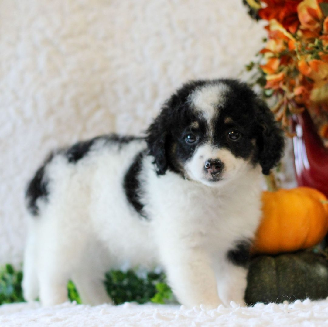 Katy - pup Micro Mini Bernedoodle for sale near Narvon, Pennsylvania