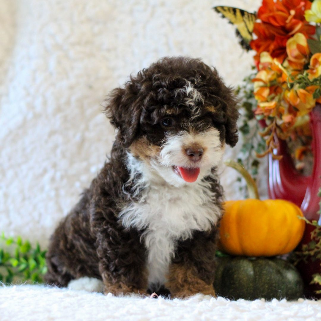 KitKat- Micro Mini Bernedoodle puppy for sale at Narvon, Pennsylvania