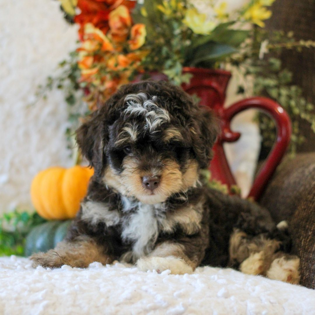 Kory - Micro Mini Bernedoodle puppy for sale in Narvon, Pennsylvania