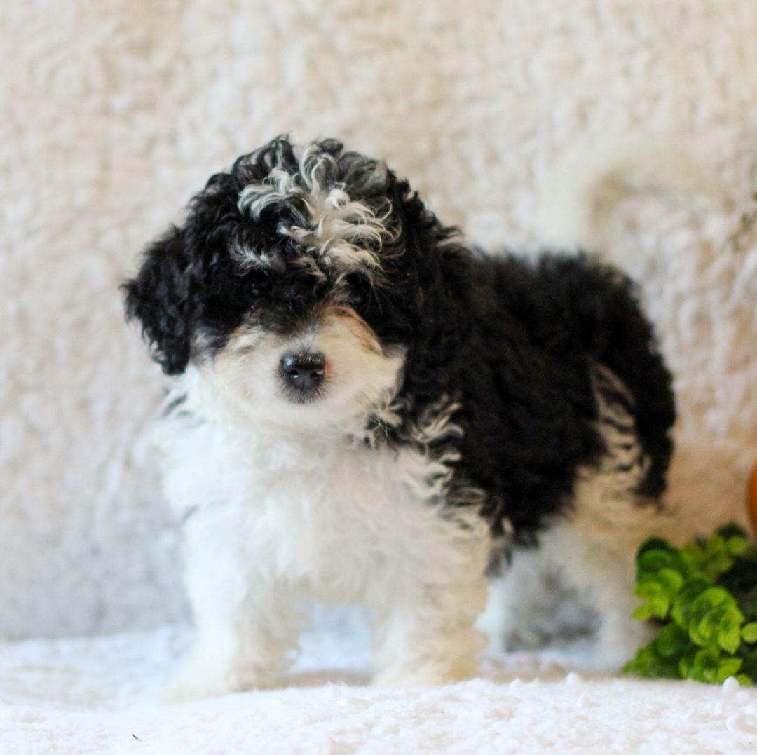 Kristen - Micro Mini Bernedoodle puppie for sale at Narvon, Pennsylvania