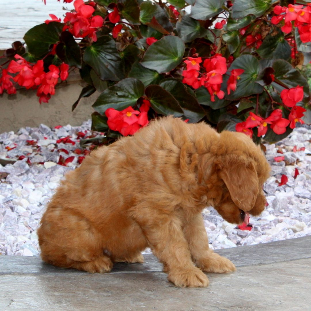 Kurt - f1 Mini Goldendoodle doggie for sale near Christiana, Pennsylvania