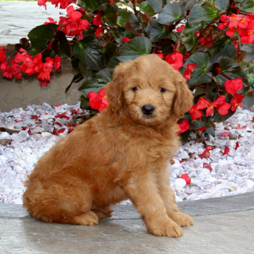 Kyle - puppy f1 Mini Goldendoodle for sale in Christiana, Pennsylvania