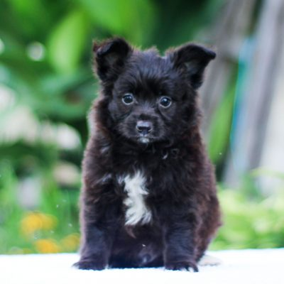 Lad - Mini Australian Shepherd puppy for sale in Strasburg, Pennsylvania