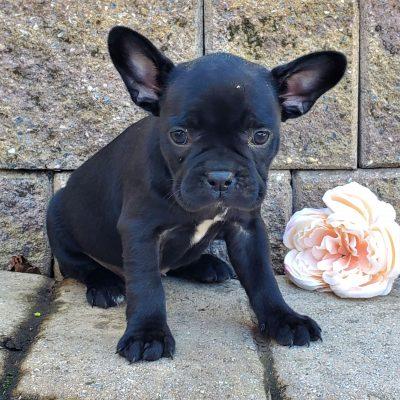 Lady - F1 frenchton doggie for sale near Honey Brook, Pennsylvania