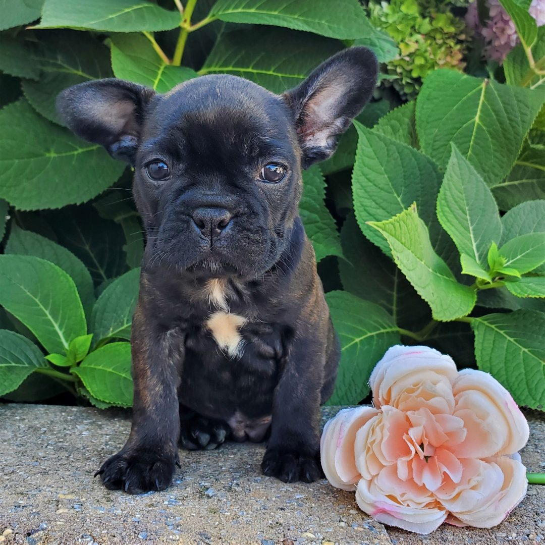 Lana- F1 frenchton puppie for sale at Honey Brook, Pennsylvania