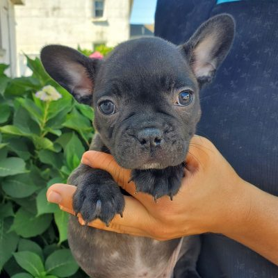 Leo - F1 Frenchton pup for sale at Honey Brook, Pennsylvania