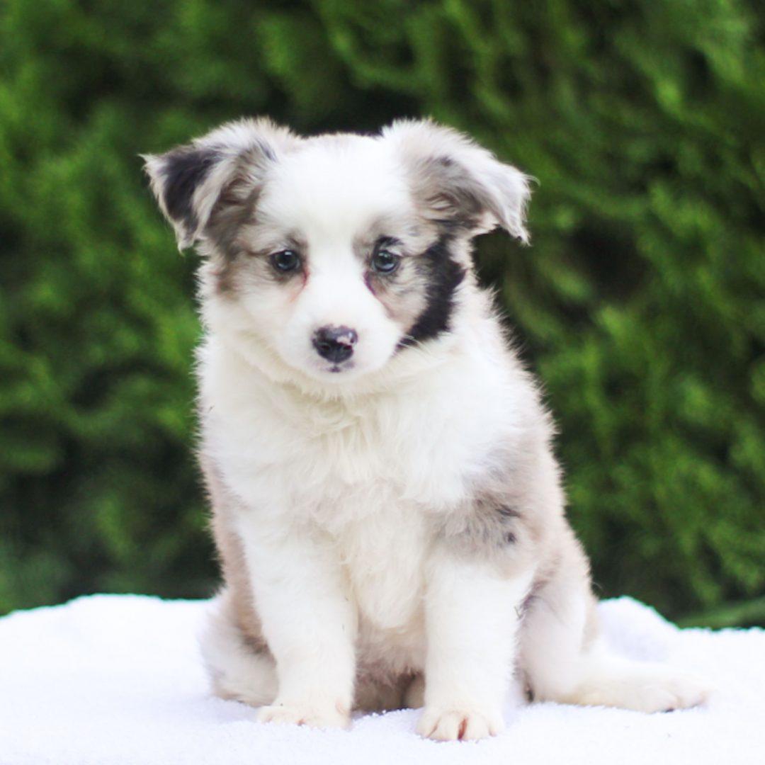 Libby - Mini Australian Shepherd pup for sale at Strasburg, Pennsylvania