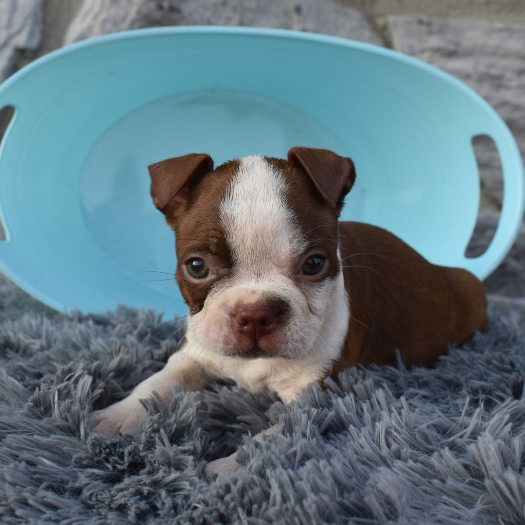 Lily - ACA Boston Terrier pupper for sale in Liverpool, Pennsylvania