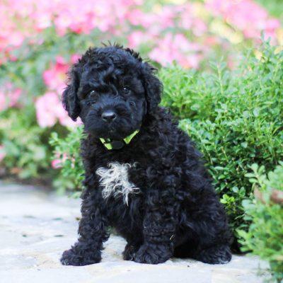 Linus - AKC Portuguese Water Dog