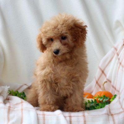 Lucas - AKC Mini Poodle
