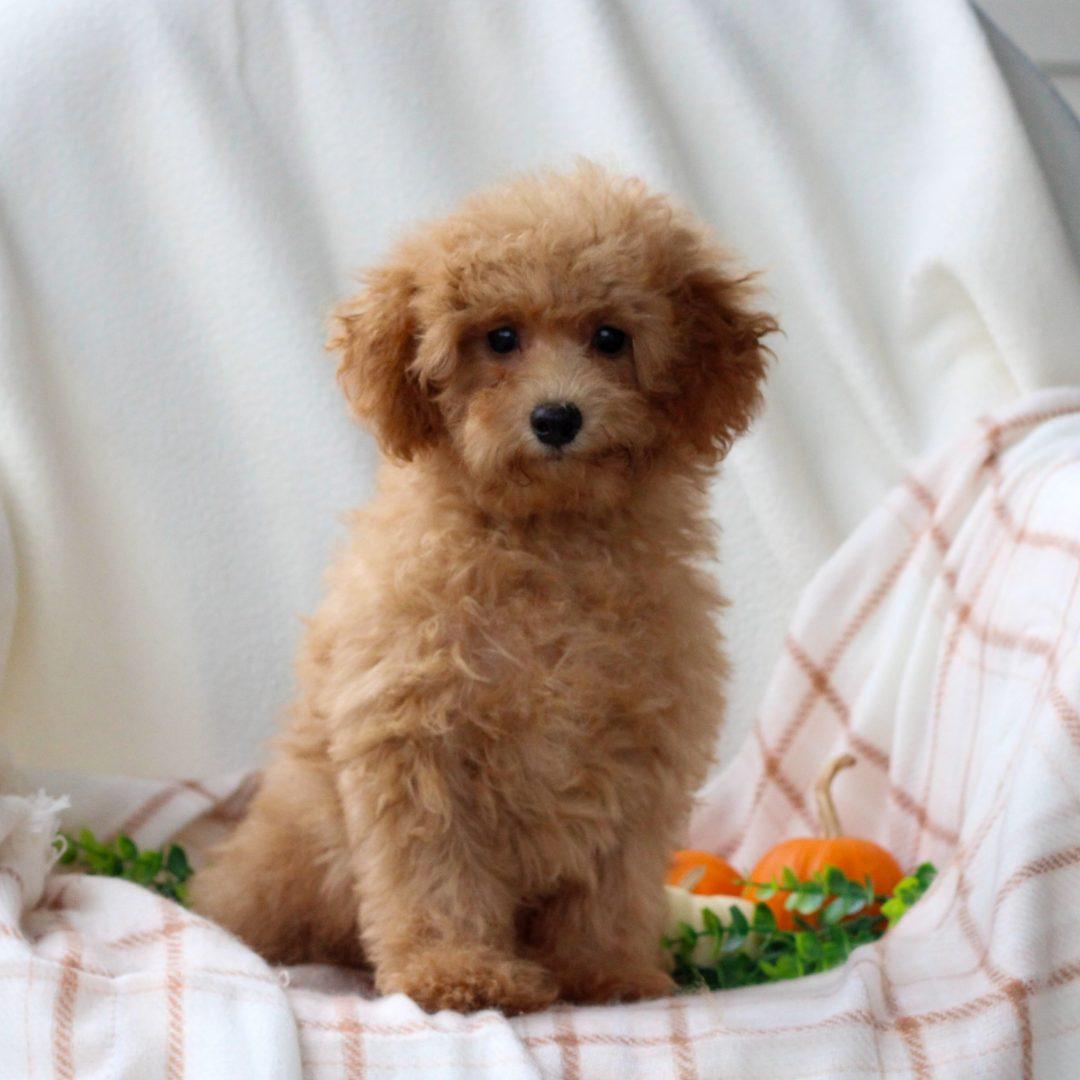 Lucas - male AKC Mini Poodle puppie for sale near Honey Brook, Pennsylvania