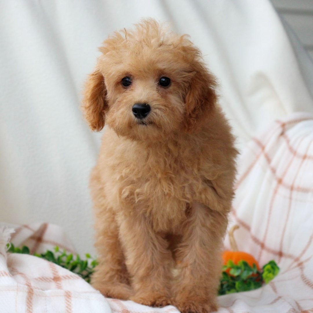 Lucky - AKC Mini Poodle pupper for sale at Honey Brook, Pennsylvania