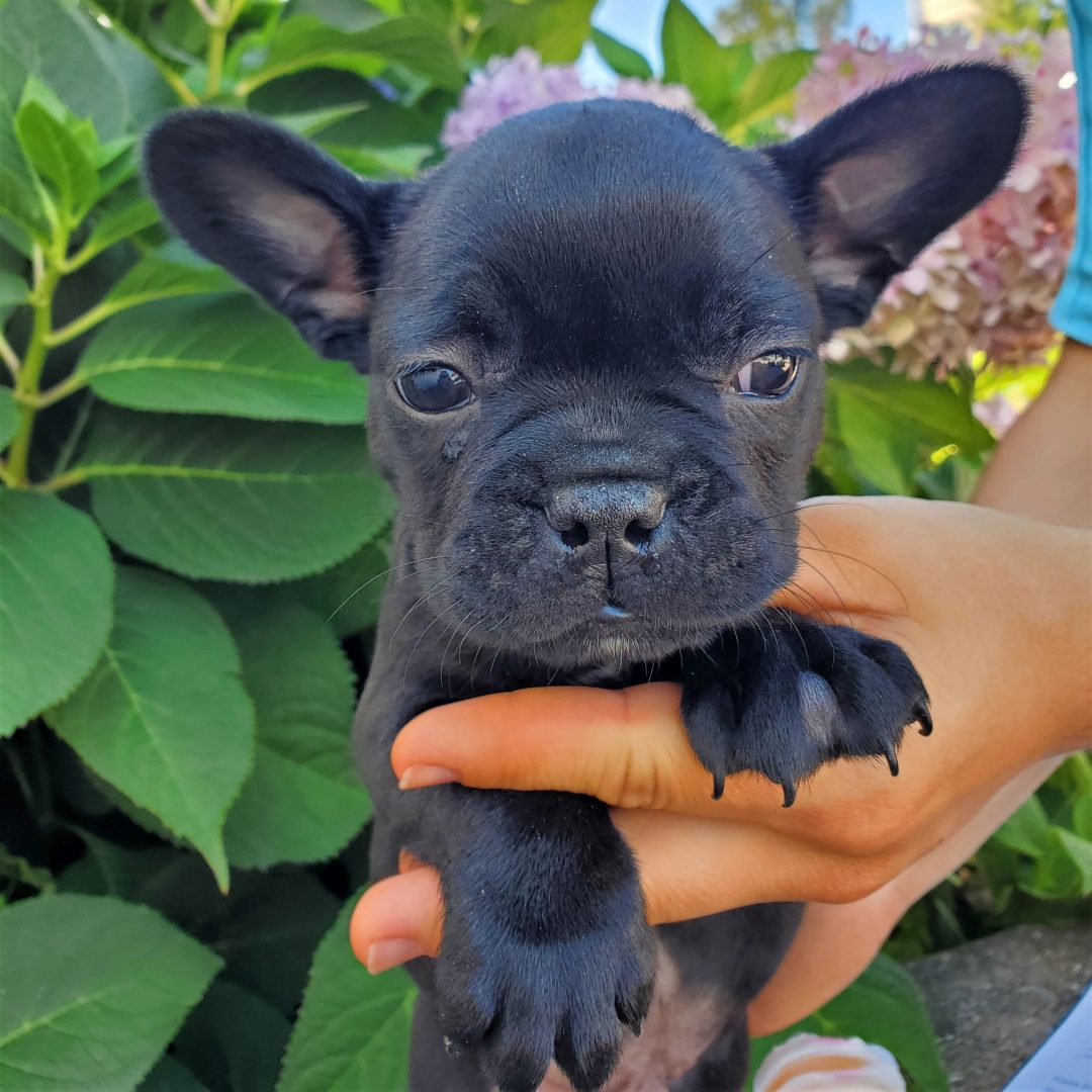 Luke - puppy F1 frenchton for sale in Honey Brook, Pennsylvania