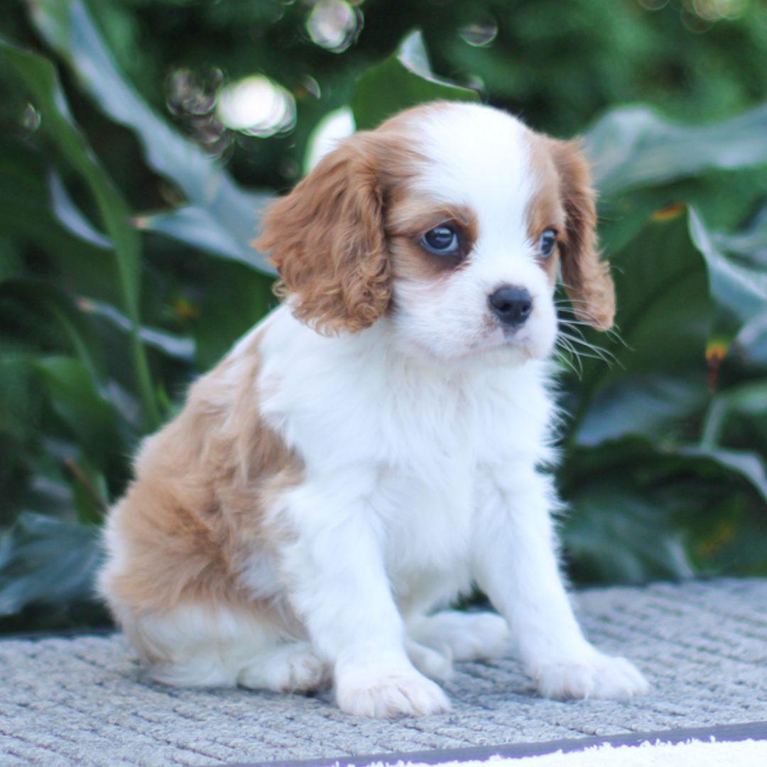 Mack - ACA Cavalier King Charles puppie for sale in Narvon, Pennsylvania