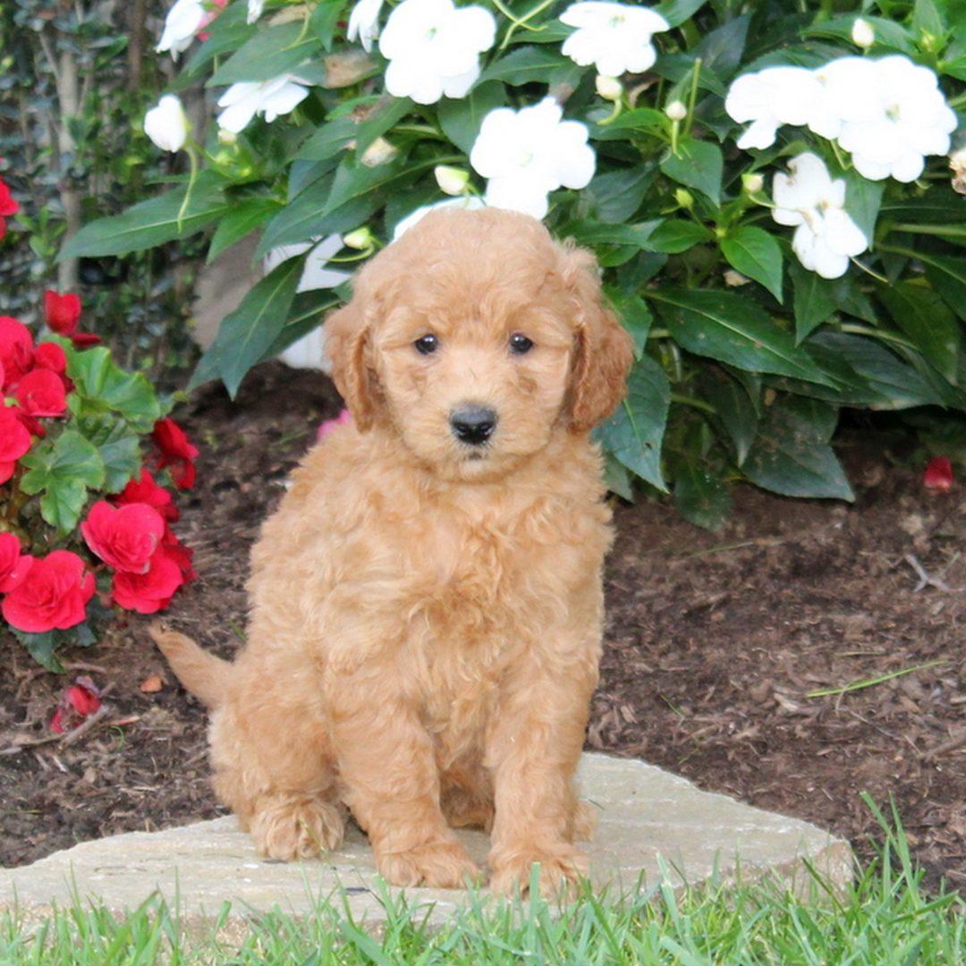 Maggie - f1b Mini Goldendoodle pup for sale at Strasburg, Pennsylvania