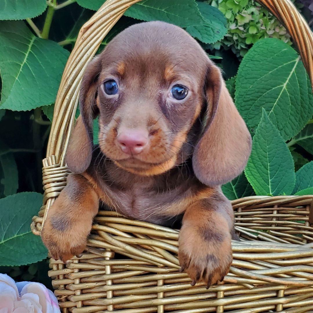 Major - Mini Dachshund male doggie for sale at Honey Brook, Pennsylvania