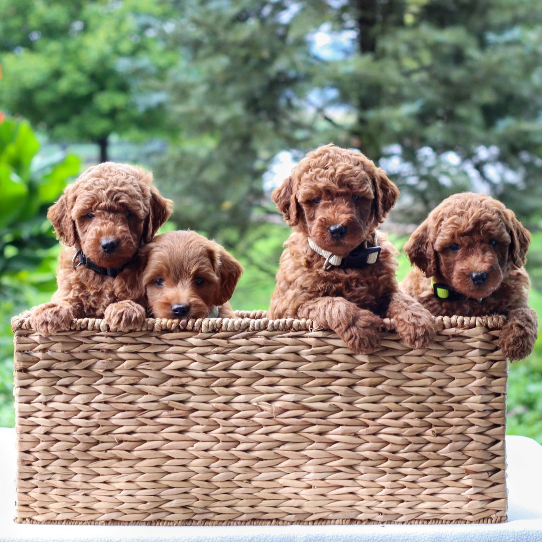 Ivory - Mini Goldendoodle pup for sale in Newmanstown, Pennsylvania