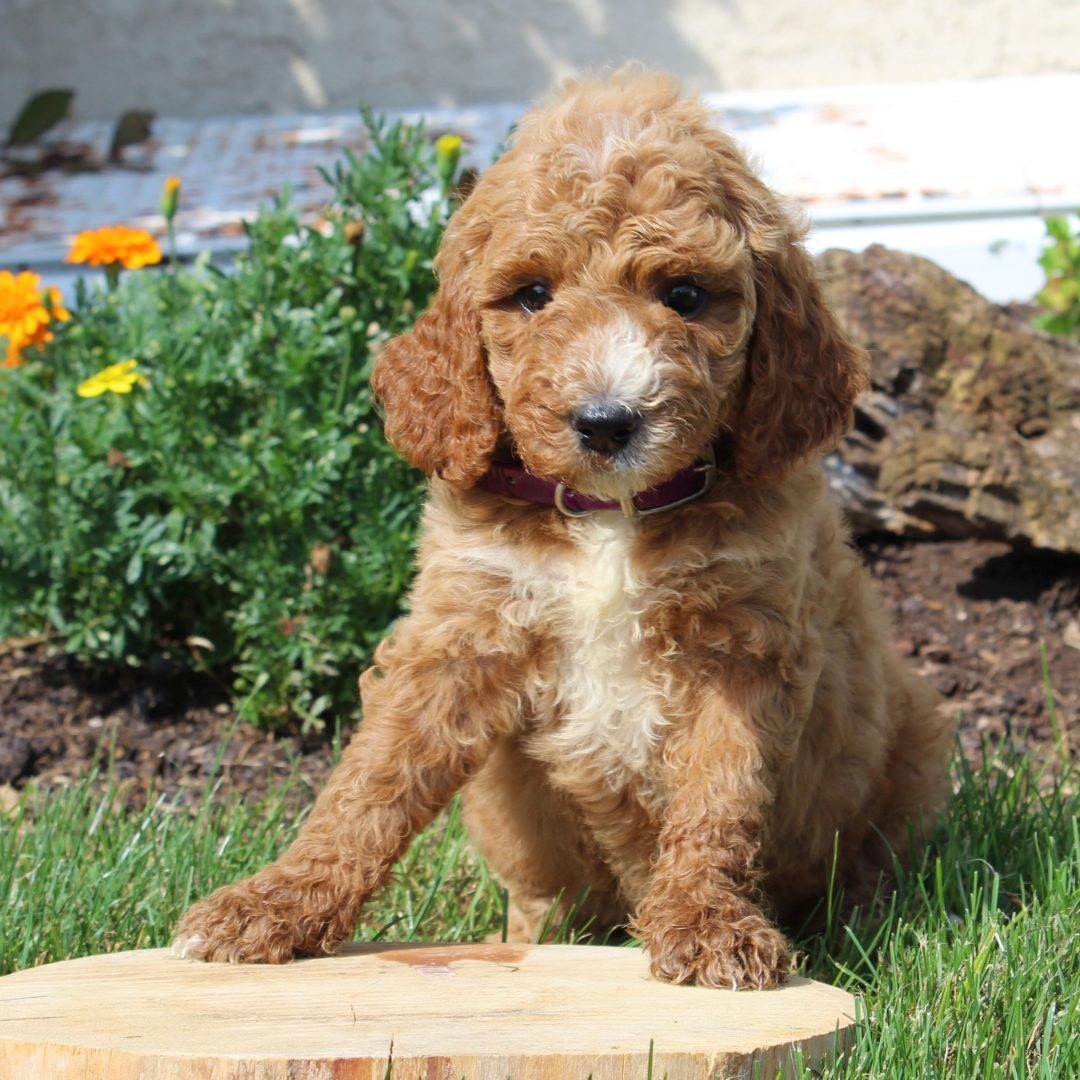 Mandy- F1b Mini Goldendoodle pup for sale near Gordonville, Pennsylvania