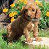 Maria- F1b Mini Goldendoodle pupper for sale in Gordonville, Pennsylvania