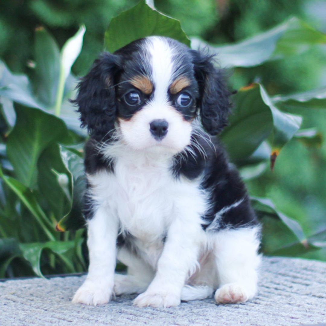 Marsha - pup ACA Cavalier King Charles for sale at Narvon, Pennsylvania