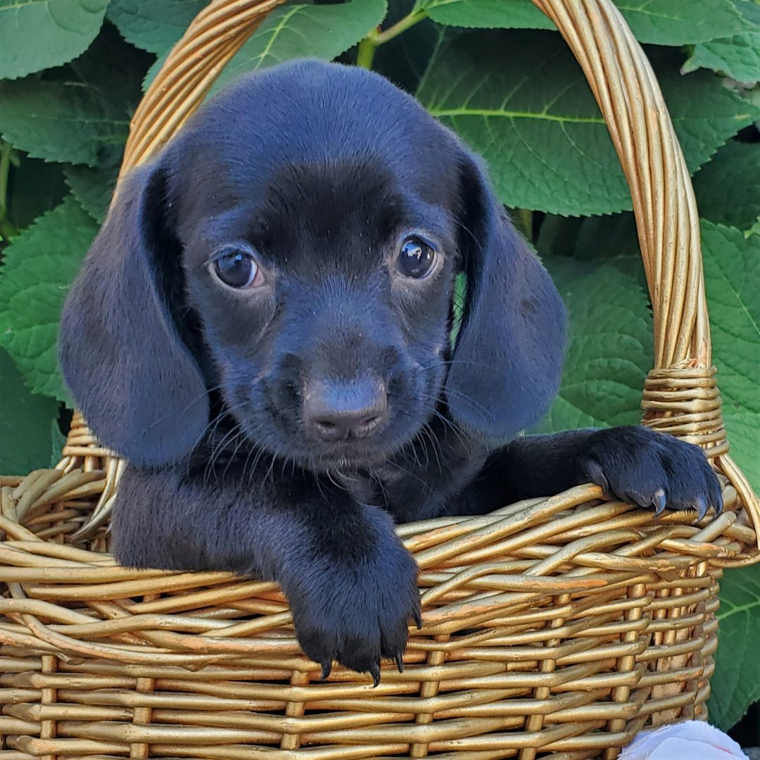 Marvin - Mini Dachshund male puppy for sale near Honey Brook, Pennsylvania