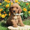 Maryann- F1b Mini Goldendoodle doggie for sale near Gordonville, Pennsylvania