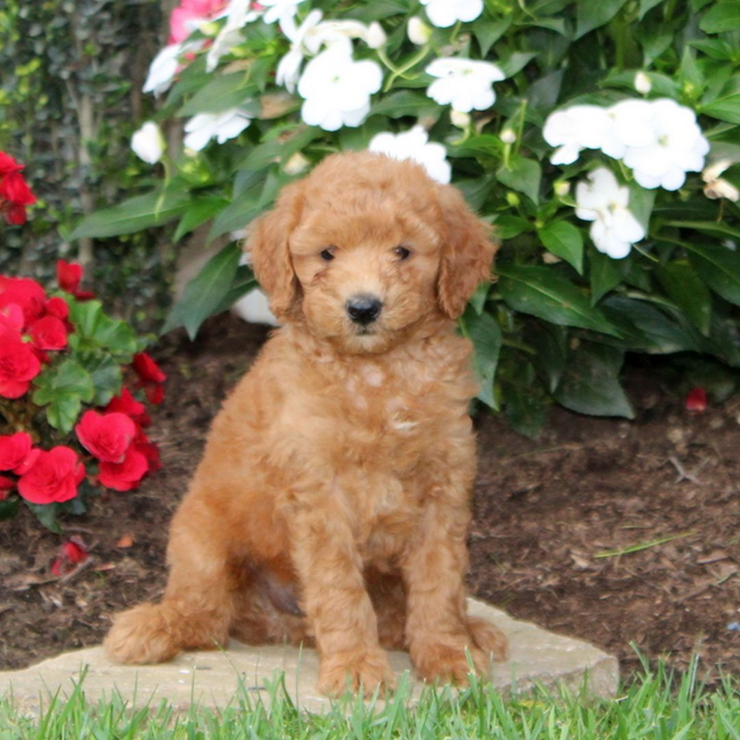 Max - f1b Mini Goldendoodle puppy for sale at Strasburg, Pennsylvania