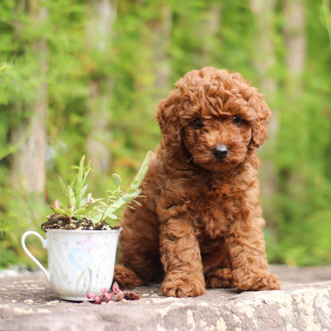 Max - AKC Toy Poodle