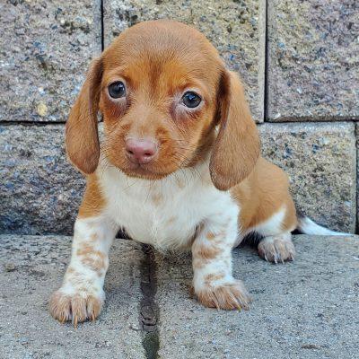 Maya - Mini Dachshund female pupper for sale near Honey Brook, Pennsylvania