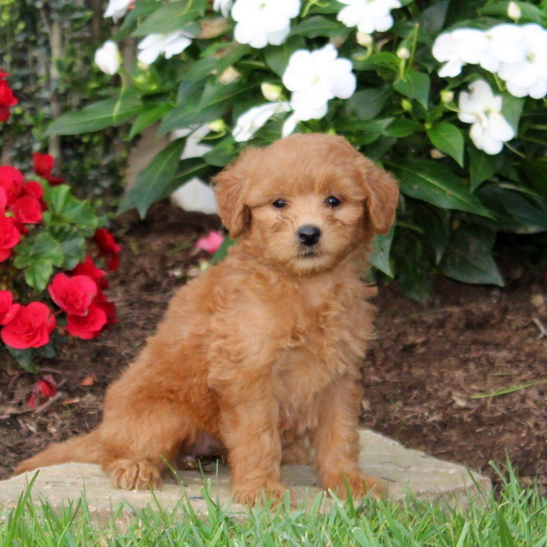 Megan - f1b Mini Goldendoodle puppie for sale in Strasburg, Pennsylvania