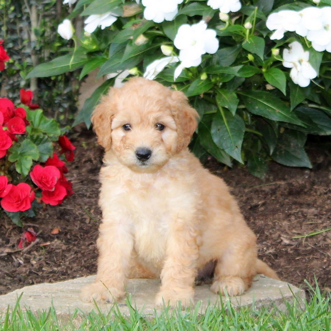Melissa - f1b Mini Goldendoodle doggie for sale at Strasburg, Pennsylvania