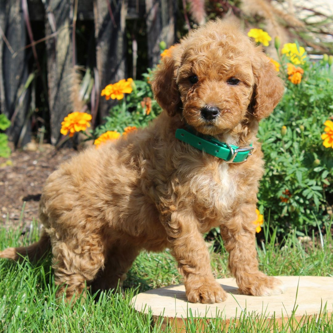 Melissa- female F1b Mini Goldendoodle doggie for sale in Gordonville, Pennsylvania